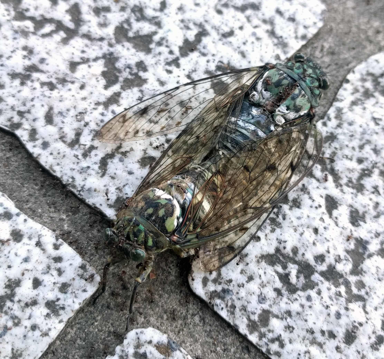 交尾しながらアリに食べられて死につつあるセミ 背中が破けて中にアリが出入りしている