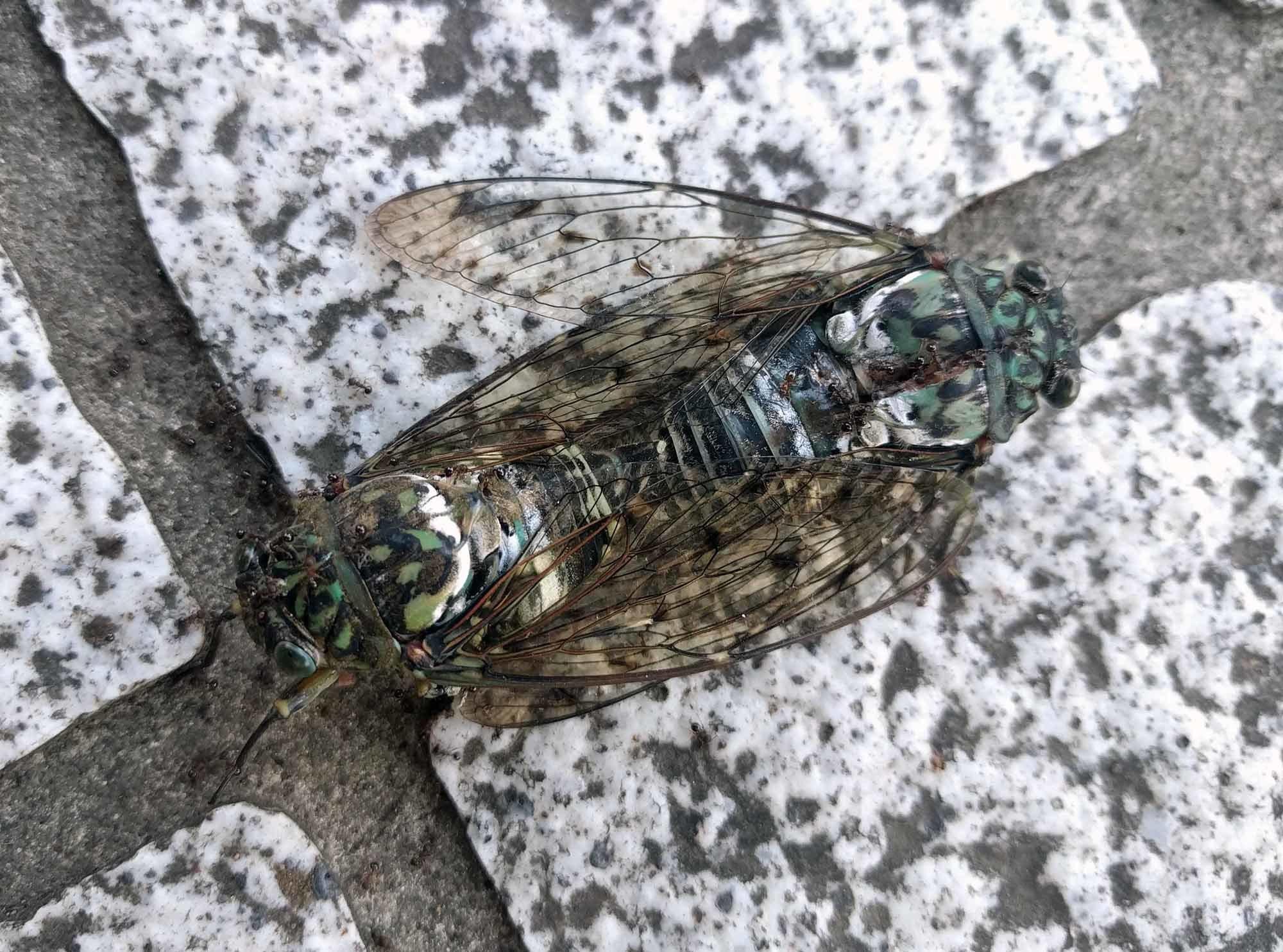 交尾しながらアリに食べられて死につつあるセミ 足を動かして未だに生きている