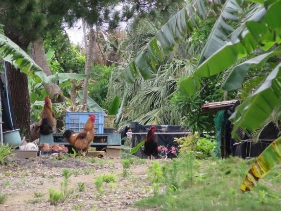 石垣島 鶏たち
