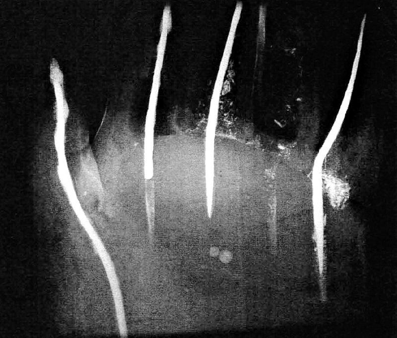 廬舎那仏左手のX線撮影写真~珠2個がこめられているのがはっきりわかる(唐招提寺金堂三尊修理報告書2000.3刊所載写真)