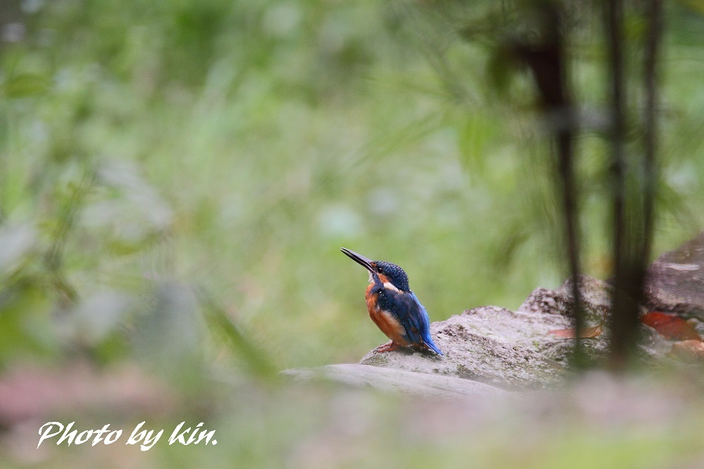 Common kingfisher ♪ ~PART3~