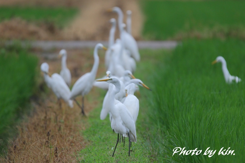 Egret ♪ ~白鷺~