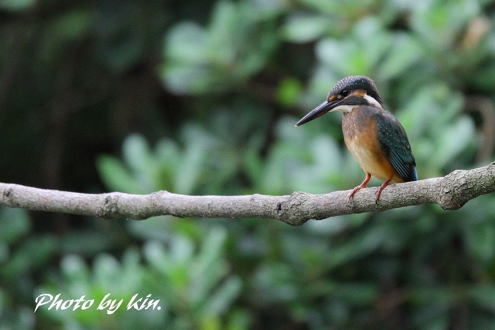 Common kingfisher ♪ ~PART2~