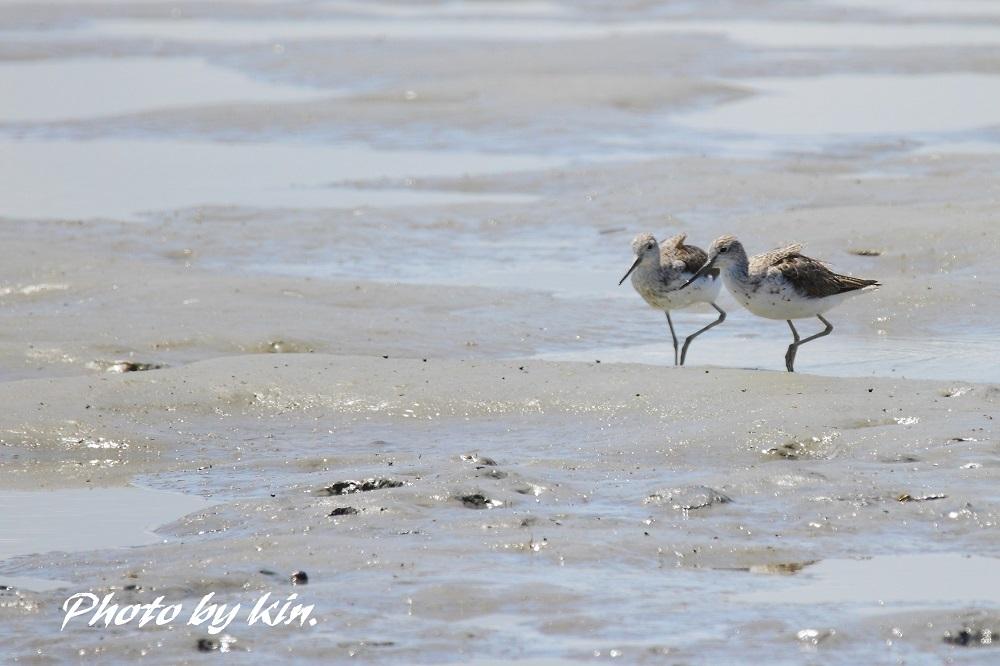 干潟での鳥見 PART2  ~アオアシシギ~