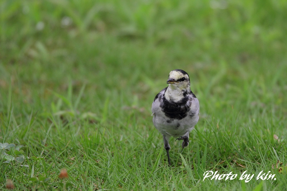 Japanese Pied Wagtail ♪ ~ハクセキレイ~