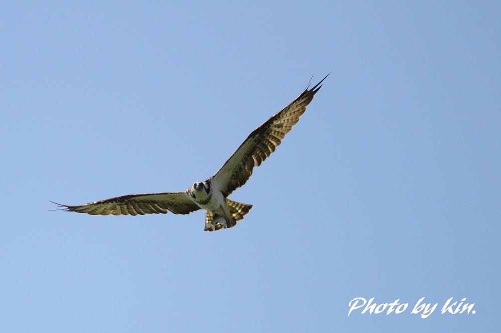 Osprey ♪ ~ミサゴ~