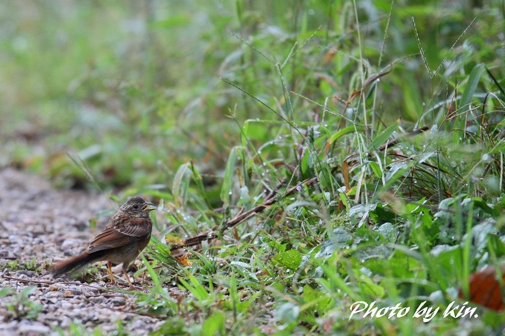 Meadow bunting ♪ ~ホオジロ幼鳥~
