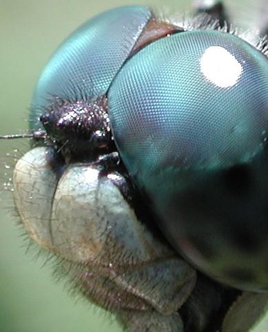 Dragonfly_eye_3811.jpg