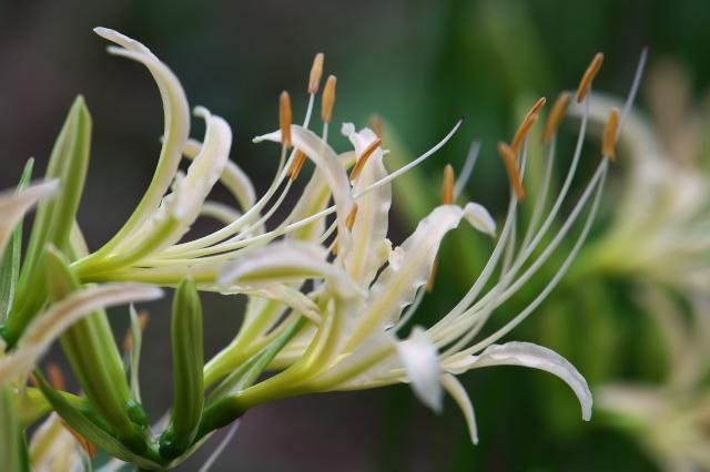 白花ヒガンバナ-04