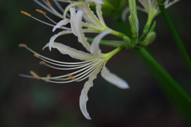 白花ヒガンバナ-06