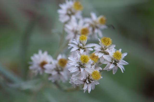 ヤマハハコグサの花-02