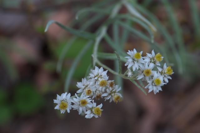 ヤマハハコグサの花-04