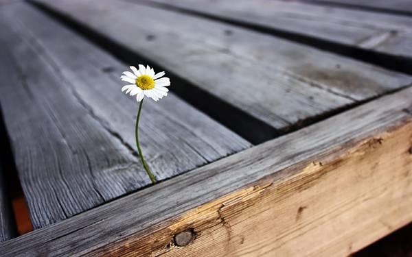 wallpaper-daisy-photo-03.jpg
