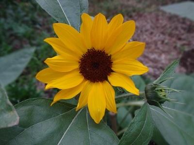sunflower1.jpg