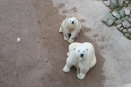シロクマ 動物園