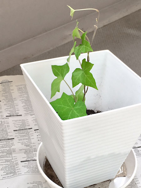 ivy-to-pot-01-450600.jpg