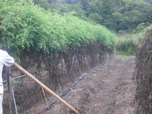 170917支えの竹を立てる1