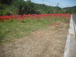 170921サブの散歩道に咲く彼岸花