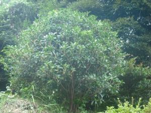 170923金木犀の木