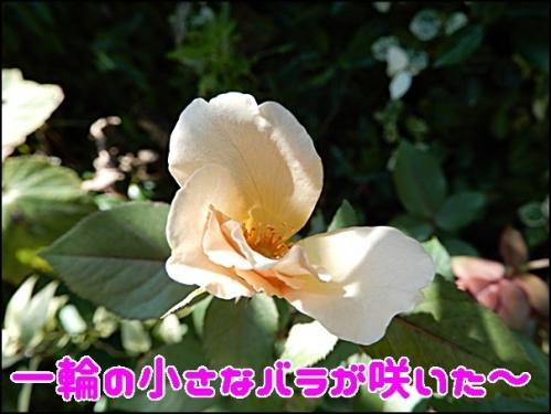 一輪の小さなバラ