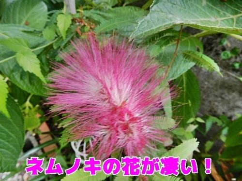 ネムノキの花が凄い
