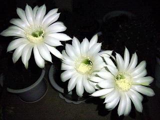 170712_4774 今夜の子サボテンの花達VGA