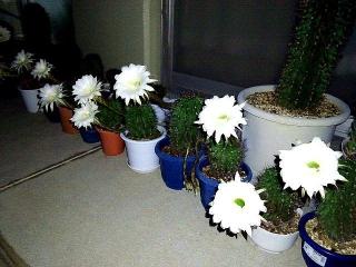 170925_4884 サボテンの花が15輪咲きましたVGA