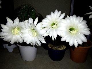170925_4885 今夜咲いたサボテンの花達zoomVGA