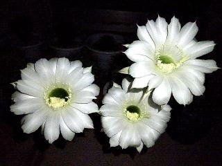 170925_4886 今夜咲いたサボテンの花達zoomVGA