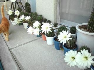 170926_4887 今朝のサボテンの花達VGA