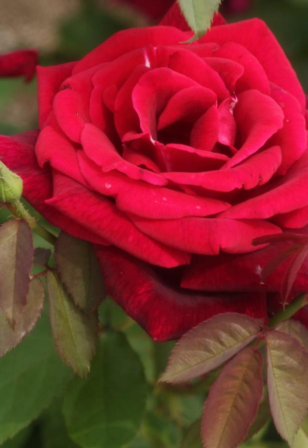Rosa Papa Meilland