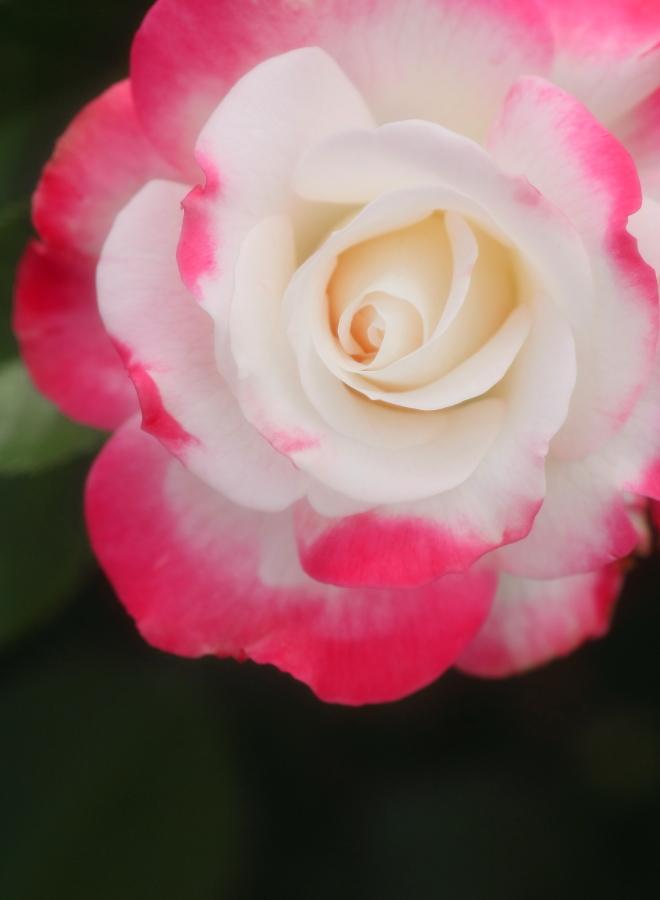 Rosa Destiny