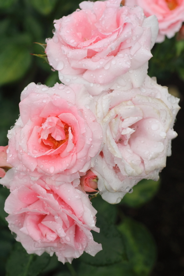 Rosa Princess Aiko
