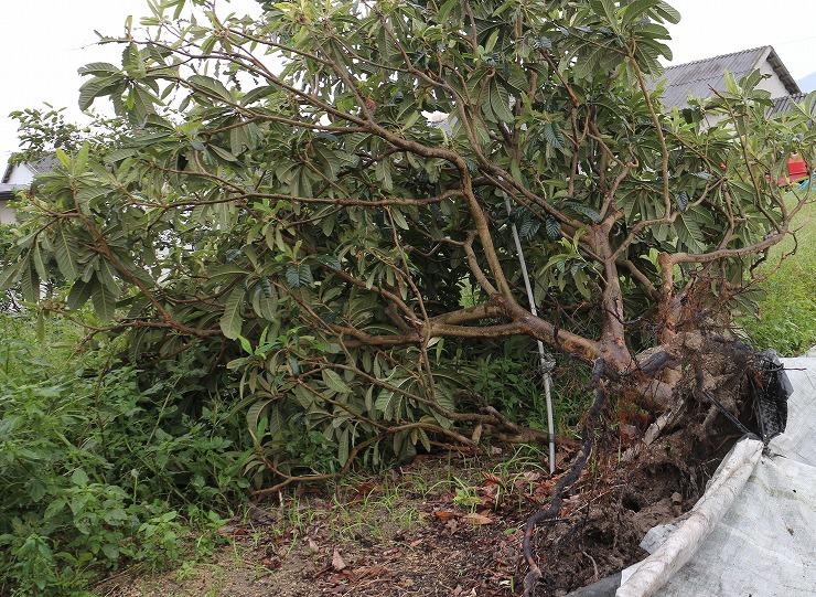 枇杷の木倒れて 29 9 22