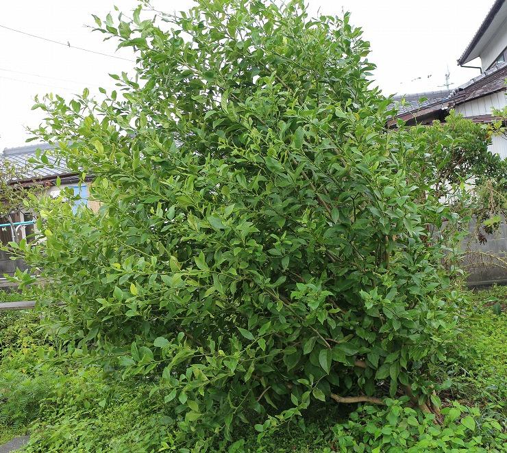 レモンの木も倒れ掛かっていました 29 9 22