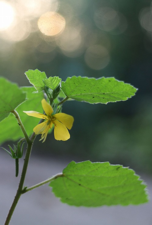カラスノゴマの花 下から撮る 29 9 26