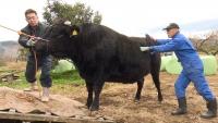 飯館村から避難先で牛を育てる小林さん親子
