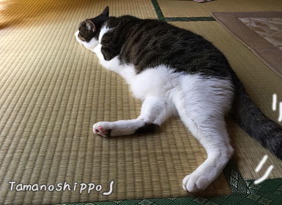 暑くて伸びて寝る猫(ちび)