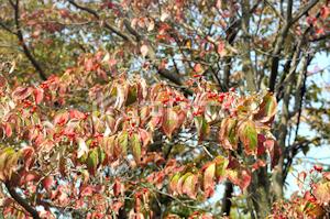 紅葉するハナミズキ