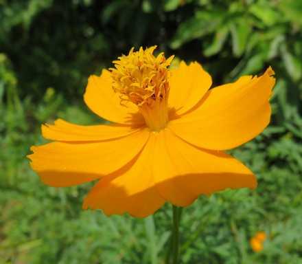 黄花コスモス1