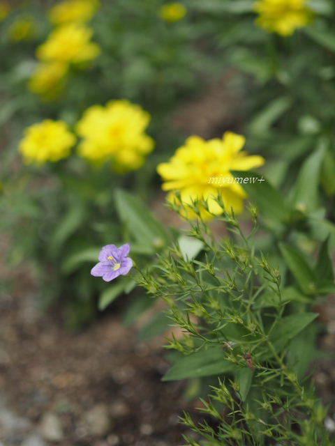 紫ニーレンベルギア170603