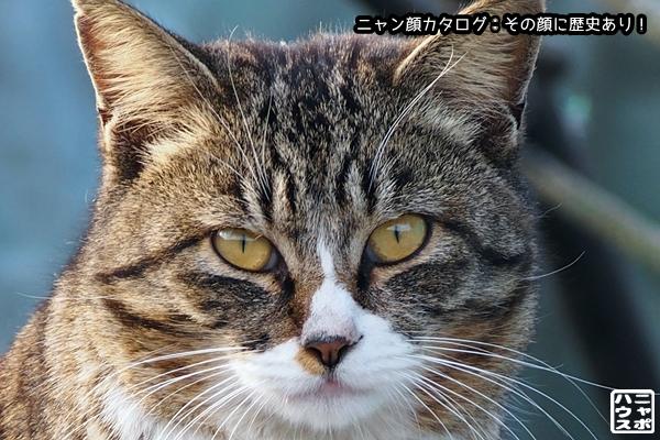ニャン顔NO88 サバトラ猫さん