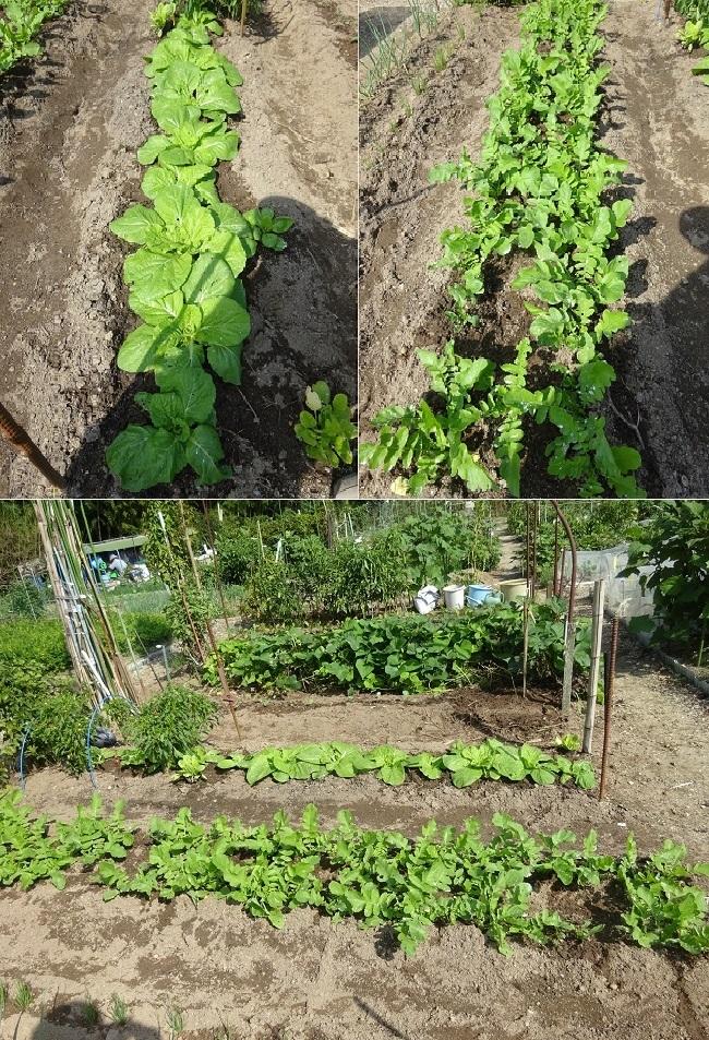 大根と白菜の成長