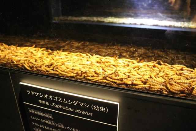 ツヤケシオオゴミムシダマシの幼虫