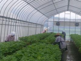 【写真】津のお母さん4人衆が育苗ハウスで定植苗の準備をしている様子