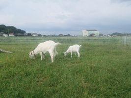 【写真】シンクロした姿勢で仲良く草を食べるアランとポール