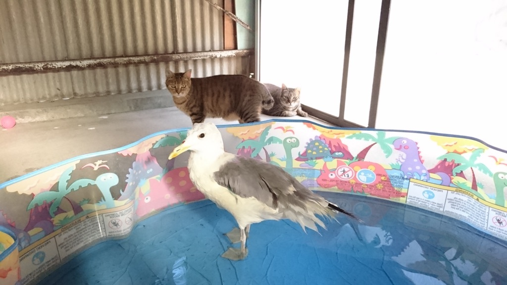 先住猫(手前:チコちゃん、奥:松山総合公園で瀕死だったモコくん)たちがそばにいても動じないジョナサン(^_^;)
