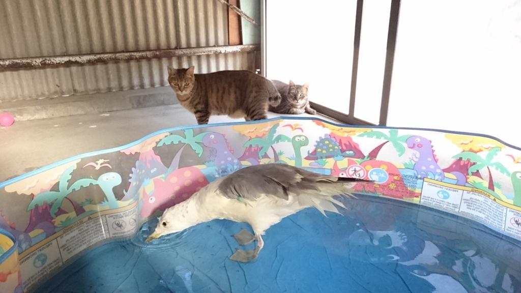 先住猫(出前:チコちゃん、奥:松山総合公園で瀕死だったモコくん)たちがそばにいても、マイペースに水浴びをするジョナサン(^_^;)