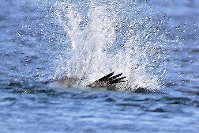 2011_0210_ミサゴの漁ー2