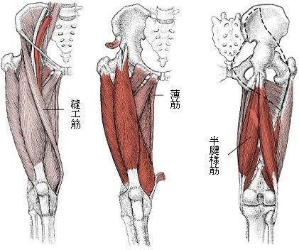 縫工筋・薄筋・半腱様筋